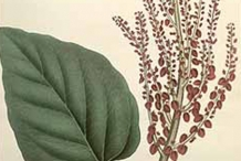 Plant-illustration-of-Himalayan-Rhubarb