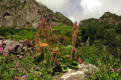 Himalayan-Rhubarb-growing-wild