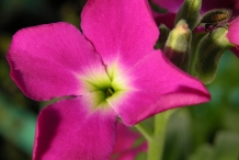 Close-up-Hoary-stock-flower