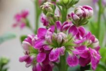 Flower-bud-of-Hoary-stock