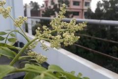 Flowers-of-Hog-plum