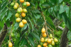 Hog-plums-on-the-tree