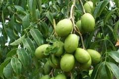 Immature-Hog-plum-on-the-tree