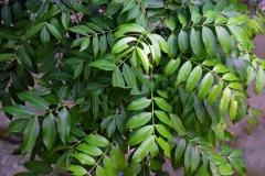Leaves-of-Hog-plum