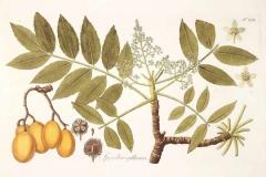 Plant-Illustration-of-Hog-plum