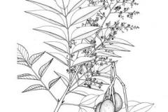 Sketch-of-Hog-plum