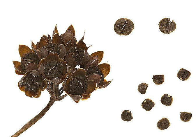 Dried-fruits-and-seeds-of-Hogvine
