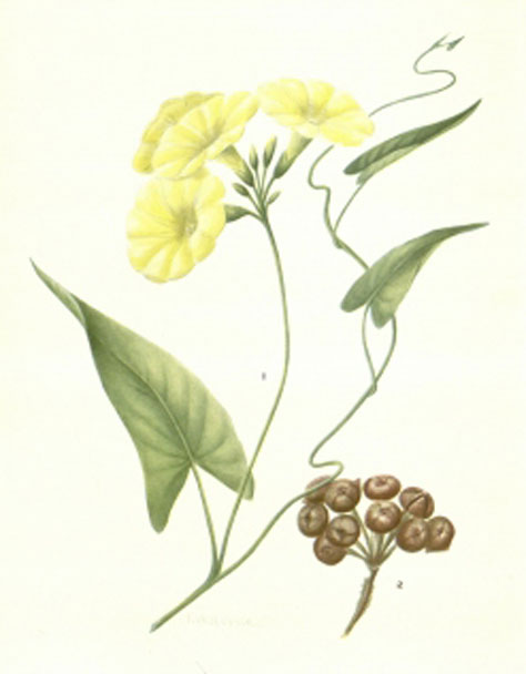 Plant-Illustration-of-Hogvine