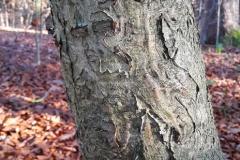 Bark-of-Holly