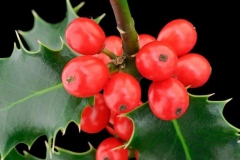 Closer-view-of-fruit-of-Holly-plant