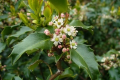 Flowers-of-Holly-plant