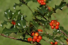 Fruits-on-Holly-plant