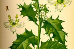 Plant-Illustration-of-Holly-plant