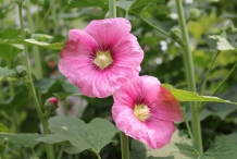 Close-up-flower-of-Hollyhock-plant