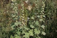 Hollyhock-plant