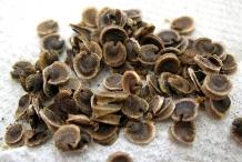 Hollyhock-seeds