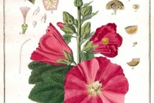 Illustration-of-Hollyhock-plant