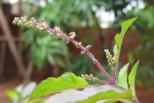 Flower-bud-of-Holy-Basil