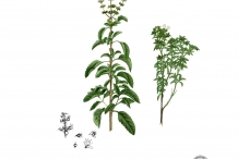 Illustration-of-Holy-Basil-plant