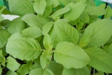 Leaves-of-Holy-Basil