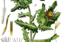 Illustration-of-Holy-Thistle