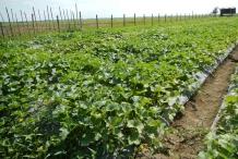 Honeydew-melon-farm