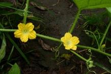Honeydew-melon-flower