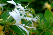 Flower-of-Honeysuckle--plant