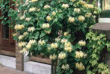 Honeysuckle-Plant
