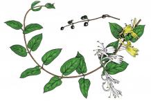 Honeysuckle-plant-Illustration