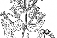 Sketch-of-Honeysuckle-plant