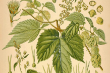 Hops-Plant-Illustration