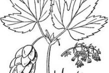 Hops-Sketch