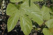 Hops-leaves