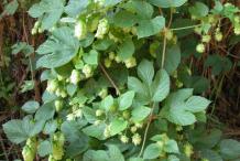 Hops-Plant