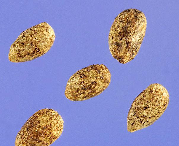 Horehound-seeds