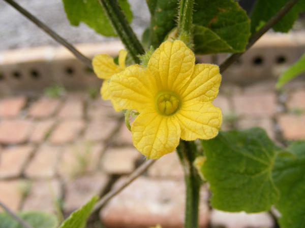 Flower-of-Horned-melon