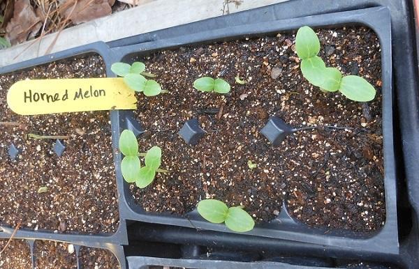 Seedlings-of-Horned-melon