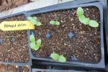 Seedlings-of-Horned-melon