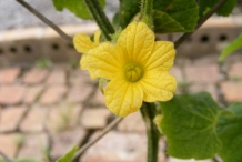 Flower-of-Horned-melon