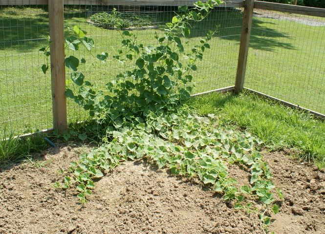 Horned-melon-plant
