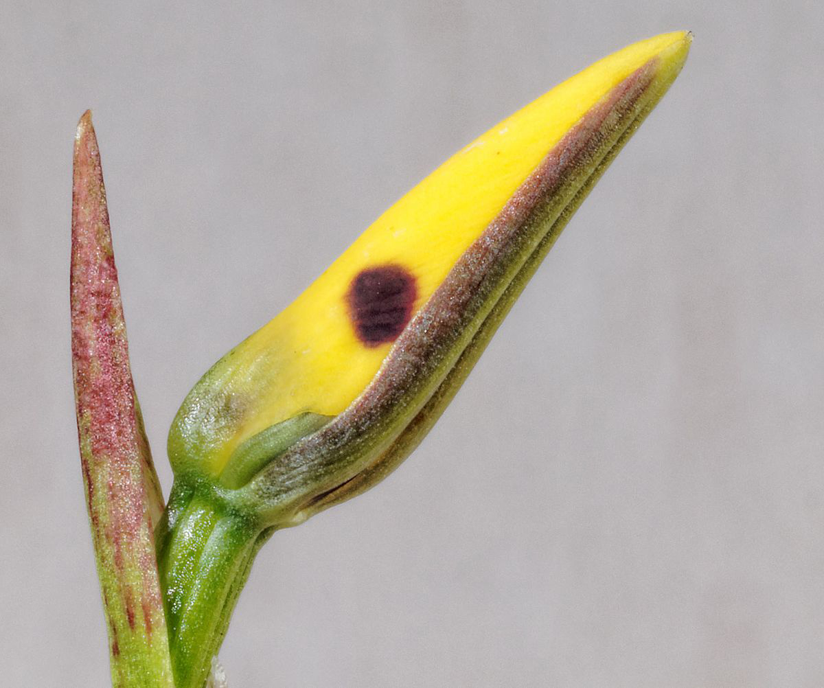 Flower-buds-of-Hornet-Orchid