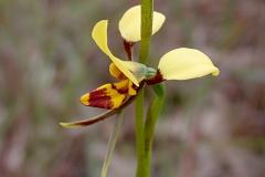 Flower-of-Hornet-Orchid