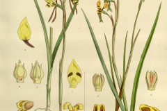 Plant-illustration-of-Hornet-Orchid