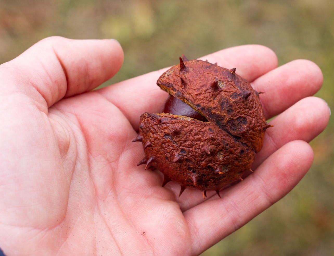 Dried-Horse-Chestnut-fruit