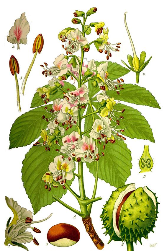 Horse-Chestnut-Plant-Illustration