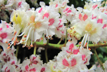 Close-up-view-of-Horse-Chestnut-flower