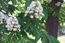 Horse-Chestnut-Flower