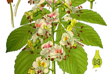 Horse-Chestnut-Plant-Illustration