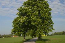 Horse-chestnut-Tree